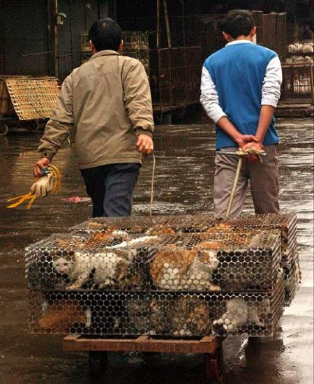 Caged Cats Being Trucked to Market